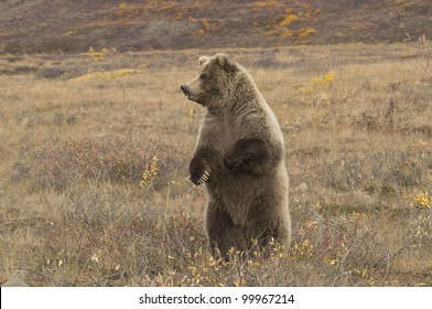 Grizzly bear (Ursus arctos) sow stands up for a better view of her surroundings Denali Nat'l Park, Alaska