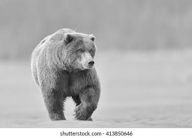 Grizzly Bear (Ursus arctos) - Strolling