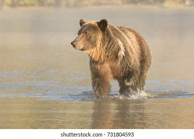 Grizzly Bear (Ursus arctos) - I thought I saw a fish