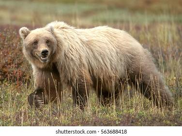 Grizzly bear walking in grass and tundra, (Ursus arctos), Alaska, Denali National Park