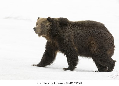 Grizzly bear walking on deep snow at beginning of springtime