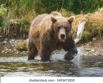 Grizzly bear walking on a river hunting and eating salmon Katmai National Park And Preserve