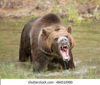 grizzly bear in water growling close up