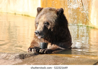 Grizzly Bear in Water at Zoo Looking Left