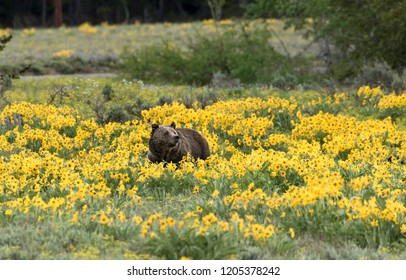 Grizzly Bear in Wildflowers