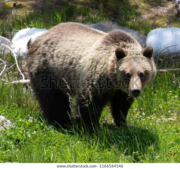 Grizzly Bear Yellowstone National Park Animals Wildlife