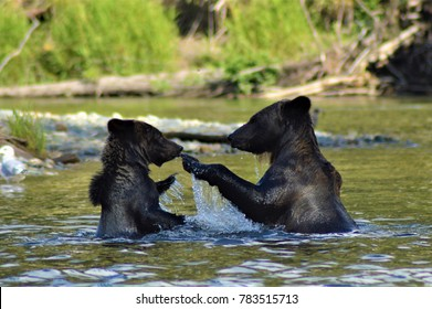 Grizzly bears in the Bella Coola River, northern British Columbia, Canada