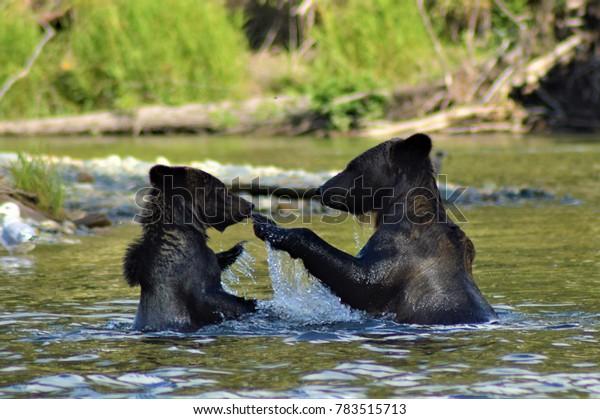 Ours grizzli dans la rivière Bella Coola, nord de la Colombie-Britannique, Canada