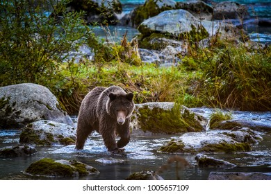 Grizzly Bears of the Chilkat River
