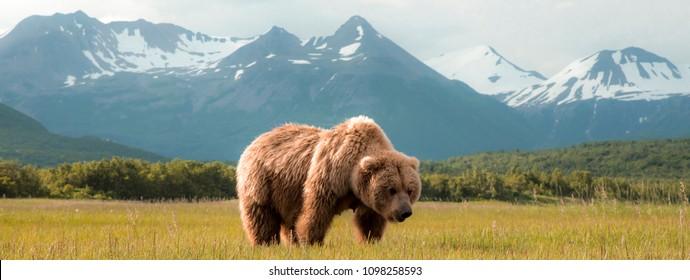 Grizzly Bears on the Coast of Alaska.