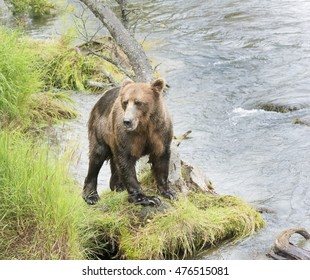 Grizzly or Brown Bear standing on a riverbank