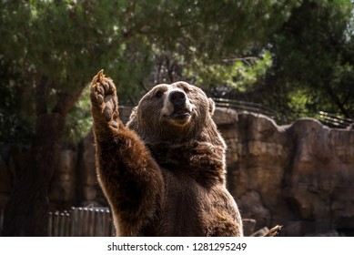 Grizzly in captivity Madrid,Spain