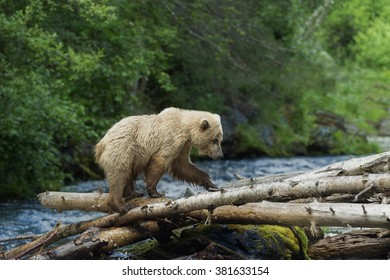Grizzly crossing the Russian River, Kenai Peninsula, Alaska