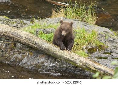 Grizzly cub waiting for mom to bring some food, Russian river, Alaska