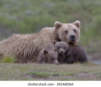Grizzly family portrait. First year cubs