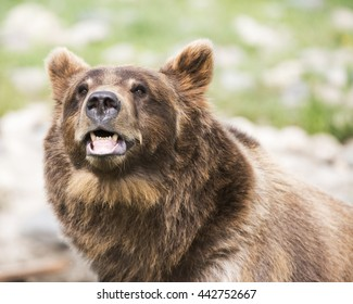 grizzly with grin