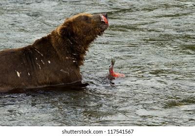 Grizzly - Katmai National Park - Alaska