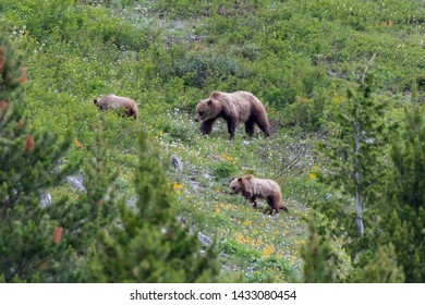 Grizzly Mother and Two Cubs On Mountain Slope in Montana