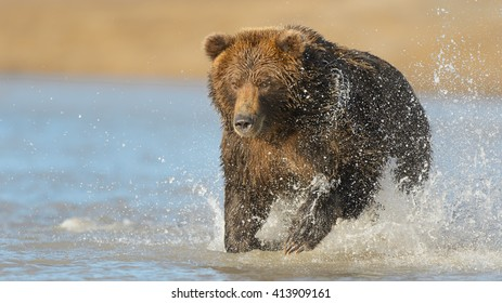 Grizzly Mum and Cubs - (Ursus arctos)