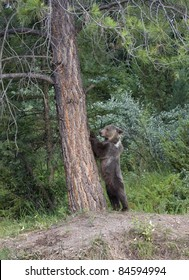 Grizzly Preparing to Climb a Tree