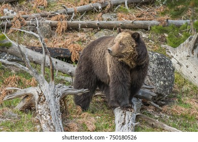 A Grizzly Sow in Yellowstone National Park