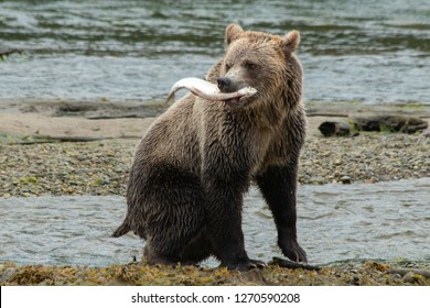 Grizzly with spawning salmon in British Columbia Canada