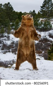 Grizzly standing on snowy hill