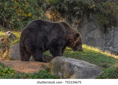 Grizzly subspecies of the brown bear (Ursus arctos horribilis) walking in a meadow with boulders and a rock wall, photographed at a zoo.