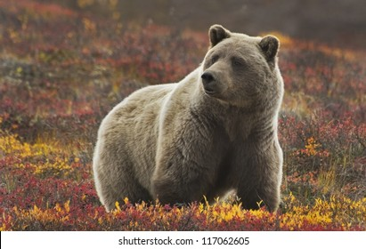 Grizzly (Ursus arctos) bear, Denali Nat'l Park, Alaska