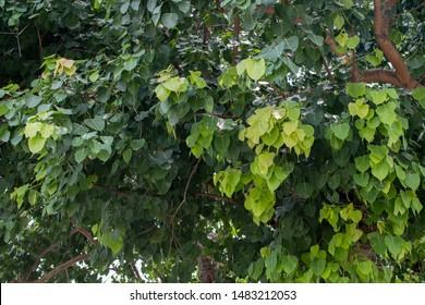 Groene Bodhi-bladeren, Pipal-bladeren, bladeren Bo