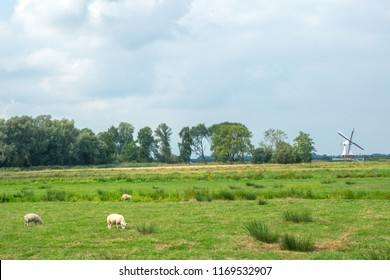 GRONINGEN, NETHERLANDS, AUGUST 15, 2018: Sheep graze on farmlands near Groningen with the white mill (De Witte Molen) on the background, Netherlands