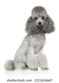 Groomed Miniature Poodle on white background. Animal themes