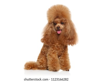 Groomed Toy poodle on white background. Animal themes