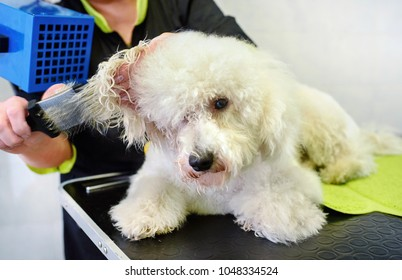 Groomer blowdrying the hair of a small curly coated white dog in a grooming parlor or pet salon in a close up view on a workbench