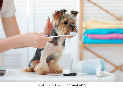 Groomer cleans yorkies teeth at the groomer salon