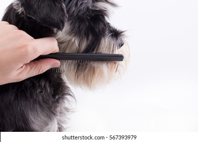 Groomer combing long hair of cute dog. Profile of  Miniature schnauzer against white background