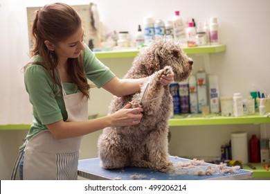 Groomer is cutting a dog hair in hair service