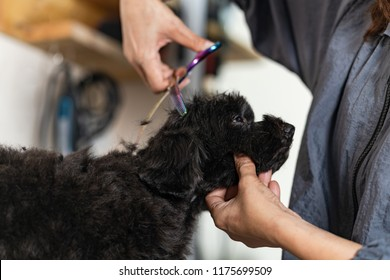 Groomer cutting hair of small dog at a salon in the beauty salon for dogs
