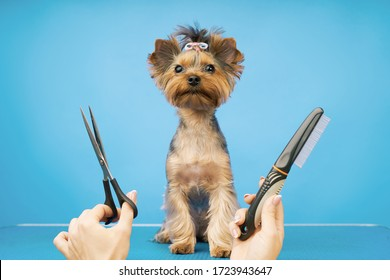 groomer makes a haircut for a small dog in the salon