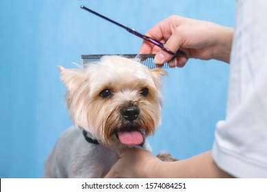 groomer makes a Yorkshire terrier breed haircut with scissors in grooming salon.