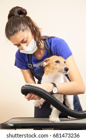 The groomer uses a hair dryer to dry dog. Grooming the hair of Jack Russel Terrier.