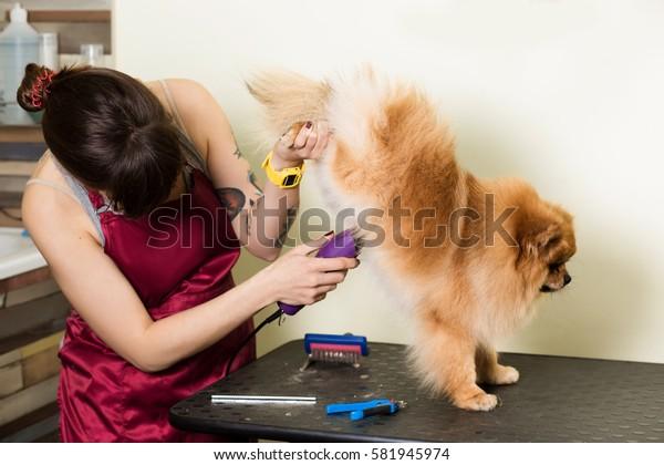 Groomer woman haircut cute pet in hair service. Dog grooming