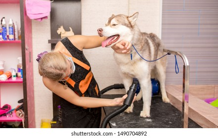 Grooming animals, grooming, combing, drying and styling dogs, combing wool. Grooming master cuts and shaves, cares for a dog. Beautiful Husky dog.