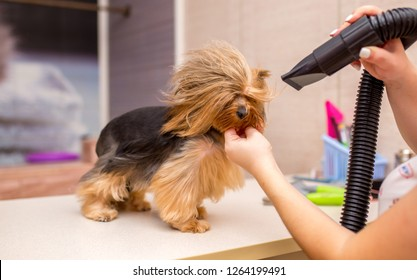 Grooming animals, grooming, drying and styling dogs, combing wool. Grooming master cuts and shaves, cares for a dog. Beautiful Yorkshire Terrier.