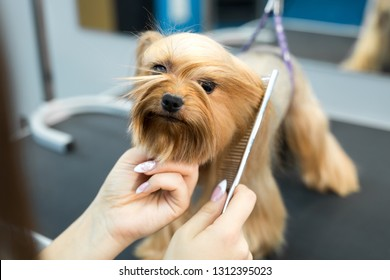 Grooming animals, grooming, drying and styling dogs, combing wool. Grooming master cuts and shaves, cares for a dog. Beautiful Yorkshire Terrier