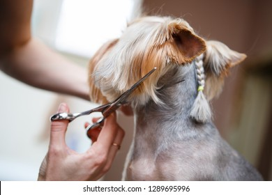 Grooming dog.Pet groomer cuts yorkshire terrier dog hair with scissors in groomers salon.Professional animal haircut and styling at vet clinic.Take care of doggy in veterinarian cabinet