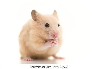Grooming Golden Hamster.