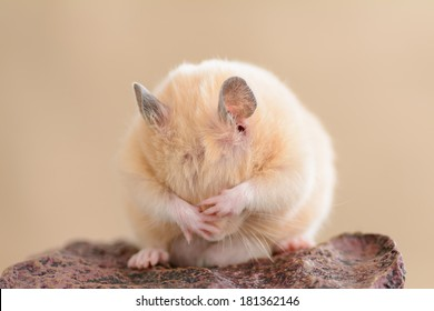 A grooming golden hamster on a rock