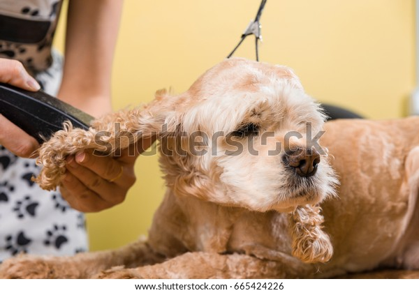 Grooming the hair of brown dog breed Cocker Spaniel. The groomer uses a trimmer for grooming dog.