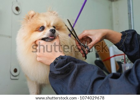 Grooming Hair Pomeranian Dog Haircut Dogs Stock Photo Edit Now